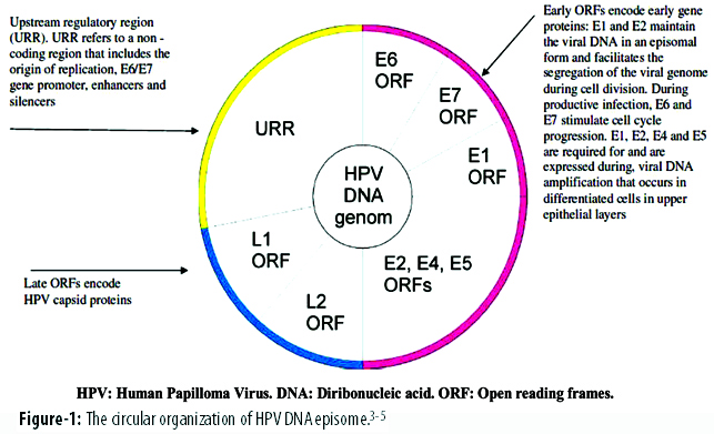 Arrangement Of The 8 10 Open Reading Frames ORFs Within Genome Is Similar In All Papillomavirus Types And Partly Overlapping Are Arranged On A